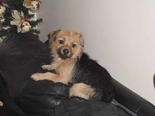 Poppy, 2 years old, Terrier mix, Fostered in South Wales. Poppy01_zps560d26e7