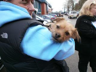 Poppy, 2 years old, Terrier mix, Fostered in South Wales. Poppy03_zps0173a3df