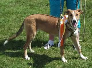 Punt - 6 month old lurcher mix - GORGEOUS young boy :) Punt07