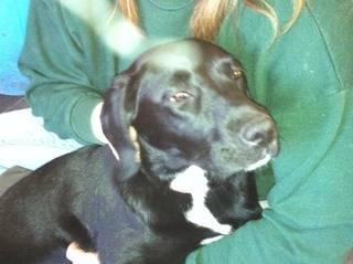 Belle, Labrador x Springer Spaniel, 6 months - Fostered in South Wales Belle01_zps19e8f557