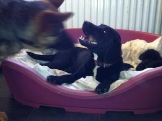 Belle, Labrador x Springer Spaniel, 6 months - Fostered in South Wales Belle02_zps5b5f5873
