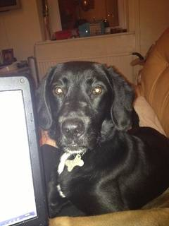 Belle, Labrador x Springer Spaniel, 6 months - Fostered in South Wales Belle07_zps45a44bdd
