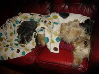 Cecil, approx 5 years, Schnauzer - Fostered in South Wales Cecil01_zps405fb284