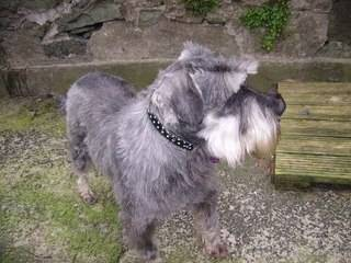 Cecil, approx 5 years, Schnauzer - Fostered in South Wales Cecil03_zps3dd07e3e