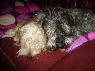 Cecil, approx 5 years, Schnauzer - Fostered in South Wales Cecil05_zps9c44ec82