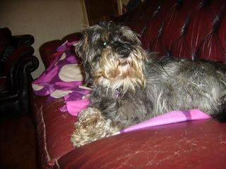 Cecil, approx 5 years, Schnauzer - Fostered in South Wales Cecil06_zps70b70d8a
