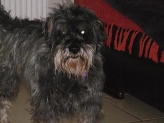 Cecil, approx 5 years, Schnauzer - Fostered in South Wales Cecil_zps291242c0