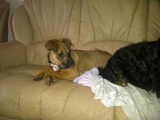 Hettie, 4 1/2 months old, Boxer x - Fostered in South Wales. Hettie01_zps15a1cafc