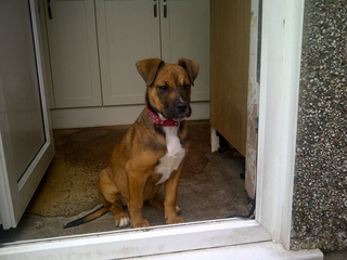 Hettie, 4 1/2 months old, Boxer x - Fostered in South Wales. Hettie04_zpsf67397fb