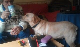 Jasmine, 5 Years Old, Labrador - Fostered in South Wales Jasmine02_zps3e4bb798