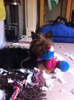 Kez, approx 1 year Yorkshire Terrier, Fostered in South Wales. Kez10_zps9dce77bb