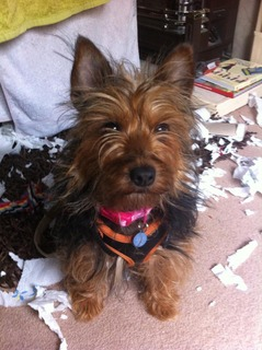 Kez, approx 1 year Yorkshire Terrier, Fostered in South Wales. Kez12_zps0ec24c5e