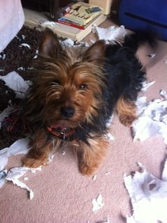 Kez, approx 1 year Yorkshire Terrier, Fostered in South Wales. Kez13_zpsa253004b
