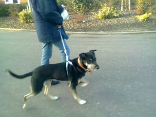 Rocky, GSD x, 10 years - Fostered in Bicester  Rocky06_zps883cafe1