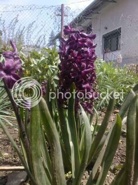 florile din apartament/gradina - Pagina 7 SPM_A1348
