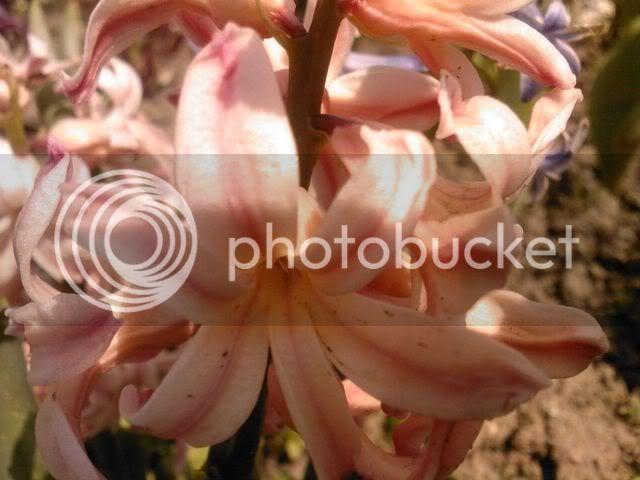 florile din apartament/gradina - Pagina 7 SPM_A1388