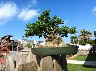 What to do with this dwarf Yaupon holly? 297bd73e