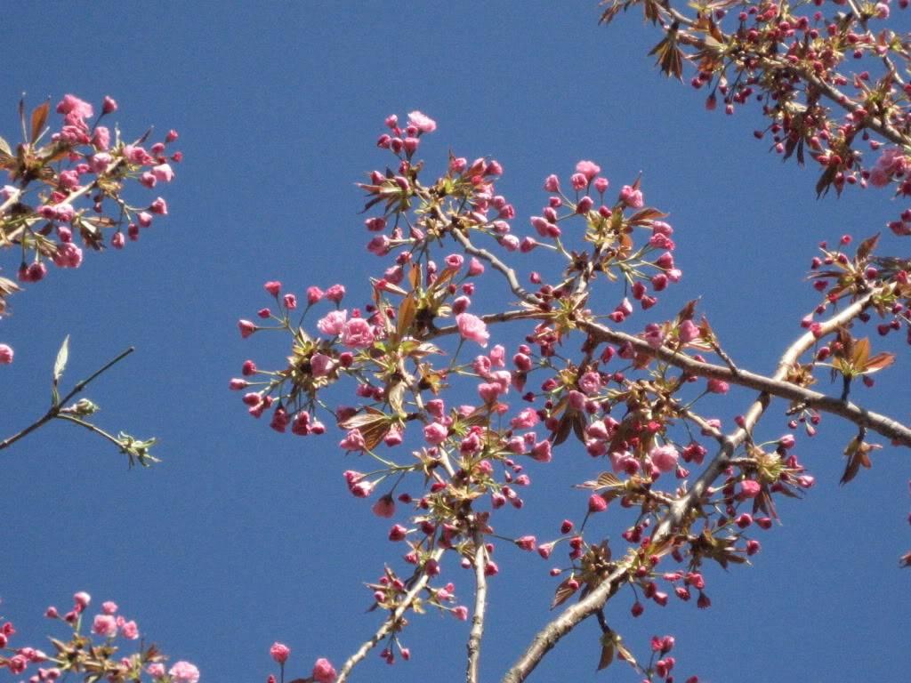 Festivalul florilor de cires -Sakura hanami IMG_5368