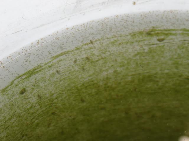 Cultivo de Pulgas de Agua IMG_3080