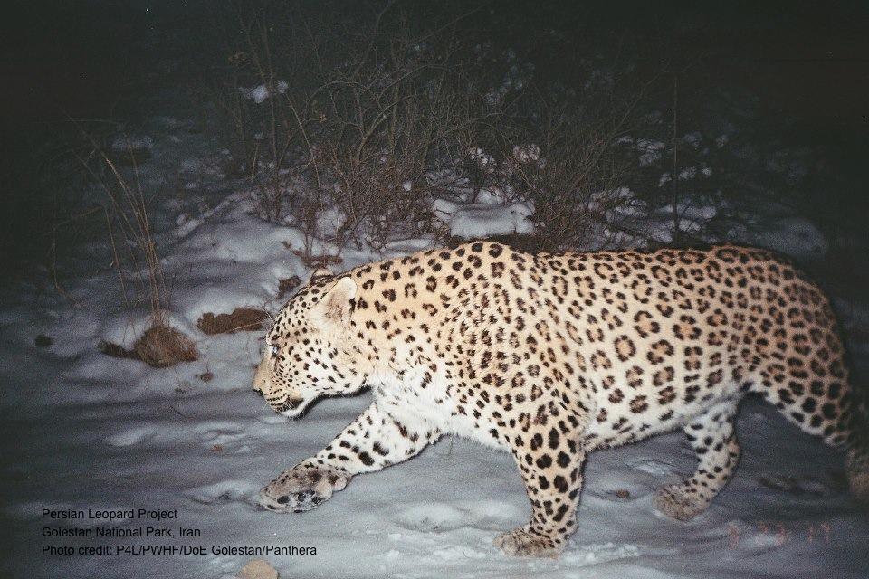 Jaguar venezuelano VS Leopardo macho monstro - Página 2 Chui200_zps920d1b3e