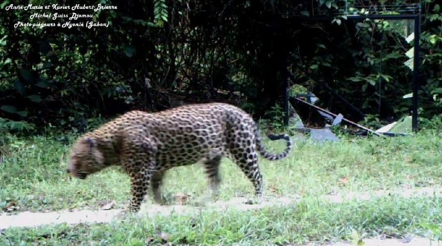 Jaguar venezuelano VS Leopardo macho monstro - Página 4 Chui402-1_zps67c51f2c