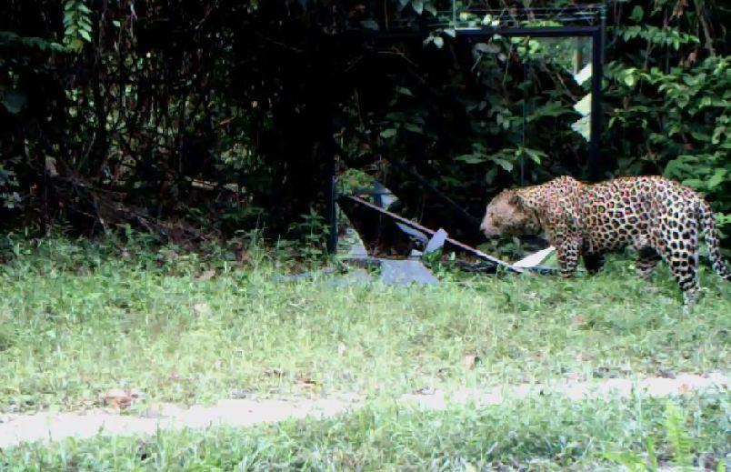 Jaguar venezuelano VS Leopardo macho monstro - Página 4 Chui595_zps9caee6c5