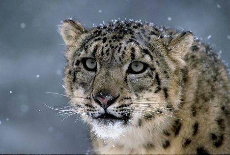 Day-Z/ Αndromeda Krio Snow-leopard_3806