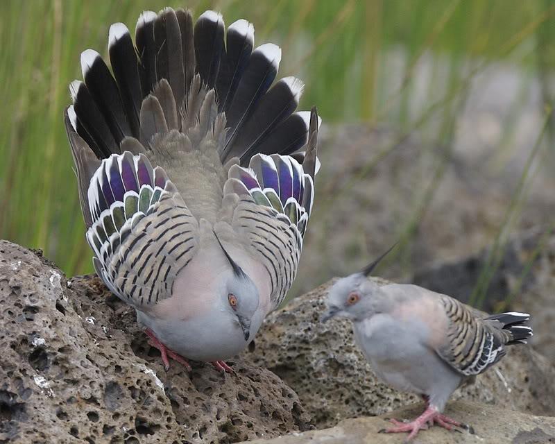 AUSTRALIJSKI CUBASTI GOLUB(Ocyphaps lophotes) Crested_Pigeon_Ocyphaps_lophotes_mating_display