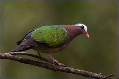 ZELENOKRILI GOLUB(Chalcophaps indica) EmeraldDovebirdsTamilnadu