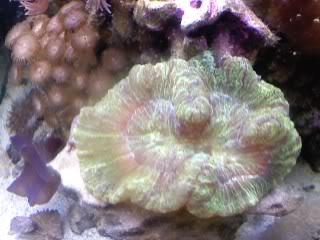 50 gal reef tank re-aquascape Greenopenbrain