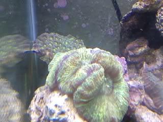 50 gal reef tank re-aquascape Greenwellsophylia