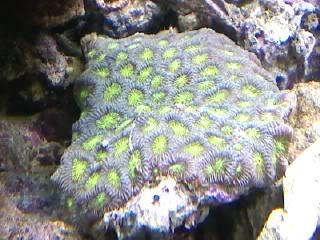 50 gal reef tank re-aquascape Neongreenandgreyfavia