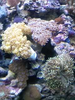 50 gal reef tank re-aquascape Newmiddlesection