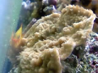 50 gal reef tank re-aquascape Yellowencrustingmontipora