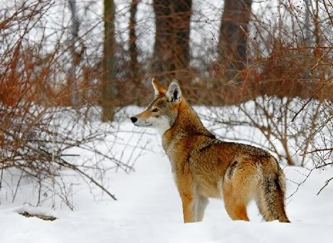 The Red Wolf Red-wolf