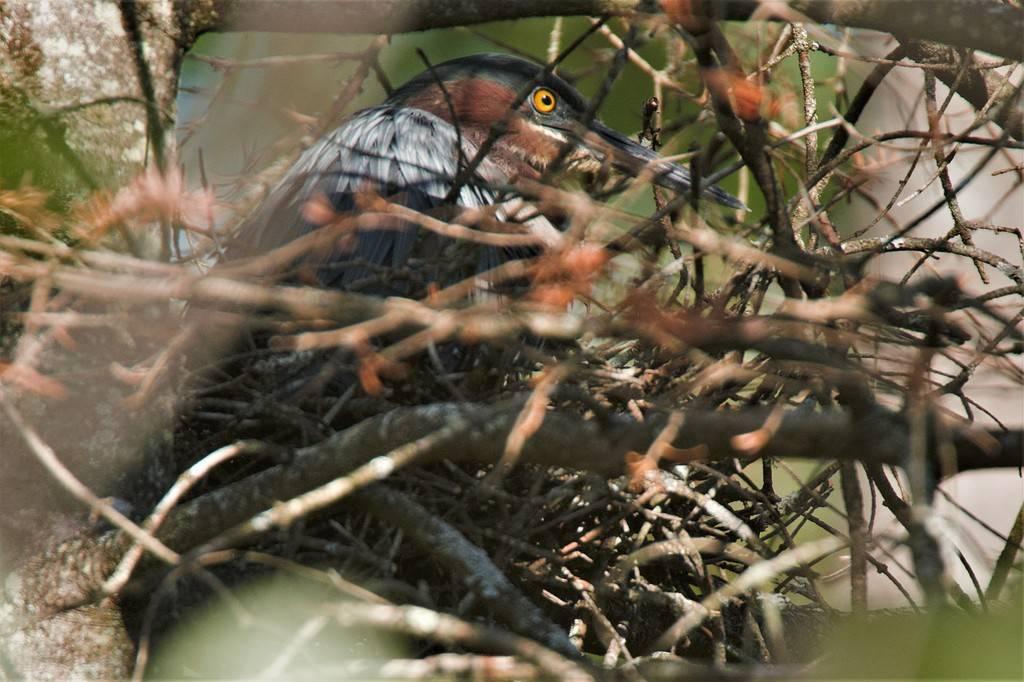 Héron vert nidification Heron%201