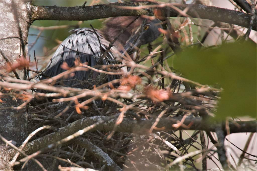 Héron vert nidification IMG_1648%202