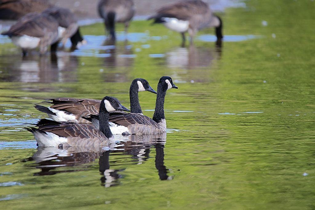 Bernache au lac Clearview Lestrois1
