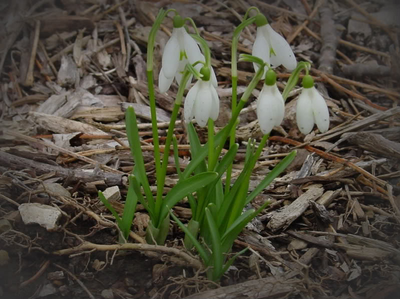 Spring flower pictures. DSC04615-2