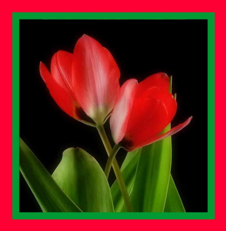 Spring flower pictures. RedTulip