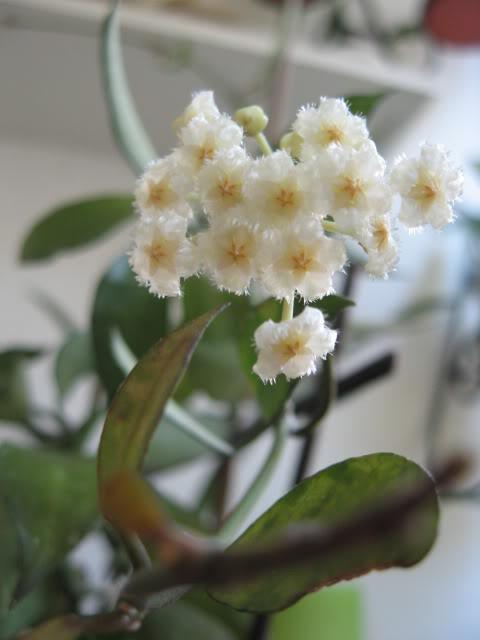 Flori de Hoya - Pagina 4 IMG_0111
