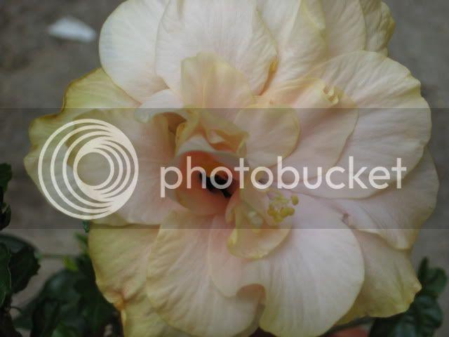 Hibiscus rosa sinensis - Pagina 7 IMG_0107