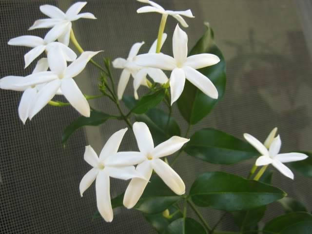 Plante foarte parfumate IMG_0149