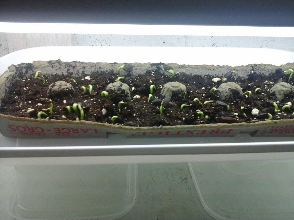 microgreens - Microgreens Gardening - Page 8 20170131_175654_zpsr8hyvrs8