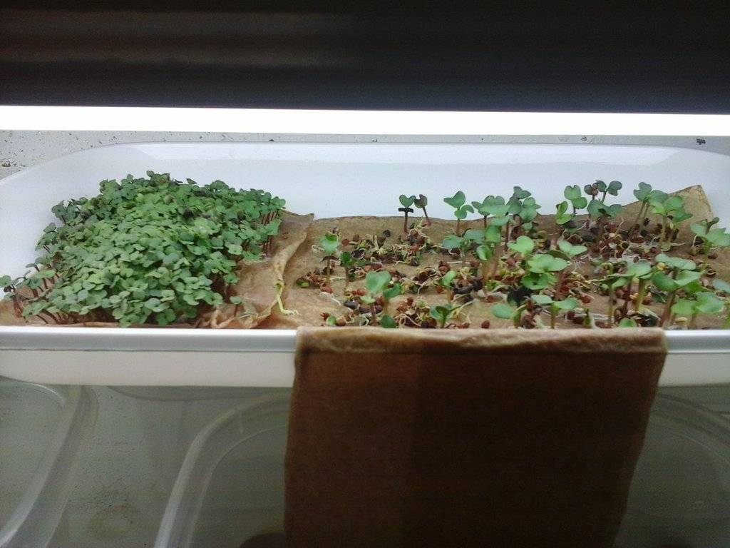 Microgreens Gardening - Page 9 20170202_150340_zps0yaavy2a