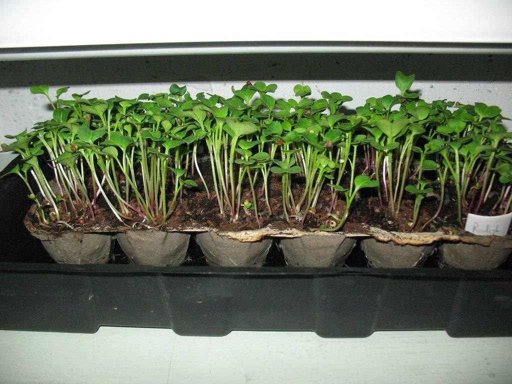 microgreens - Microgreens Gardening - Page 8 IMG_3497_zpsihsgv0qp