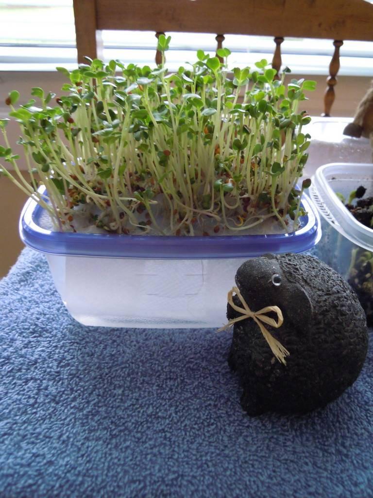 microgreens - Microgreens Gardening - Page 4 DSCN9382_zpsz1qgphgz