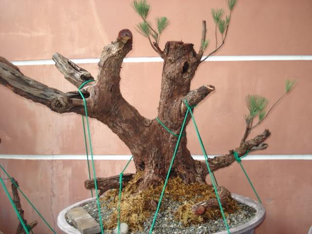 Casuarina Equisetifolia (Cemara Udang or Mu Ma Huang) - Page 3 DSC00008