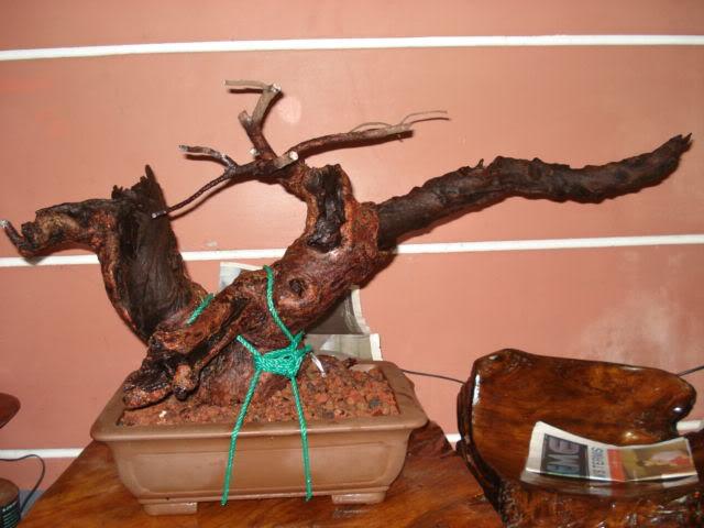 Casuarina Equisetifolia (Cemara Udang or Mu Ma Huang) - Page 3 DSC00001