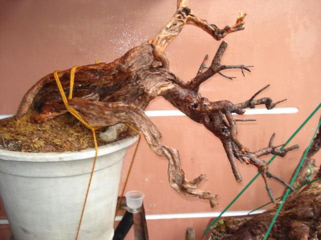 Casuarina Equisetifolia (Cemara Udang or Mu Ma Huang) - Page 3 DSC00037
